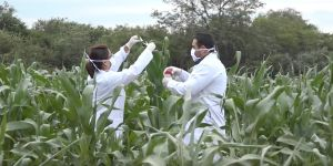 Scientists_testing_for_illegal_GM_maize_found_growing_in_Bolivia_1200x600.jpg